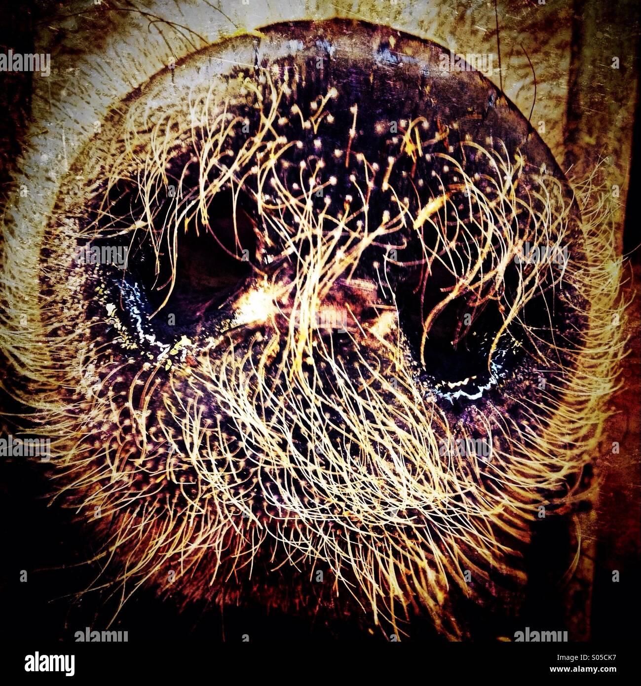Pig snout detail - Stock Image