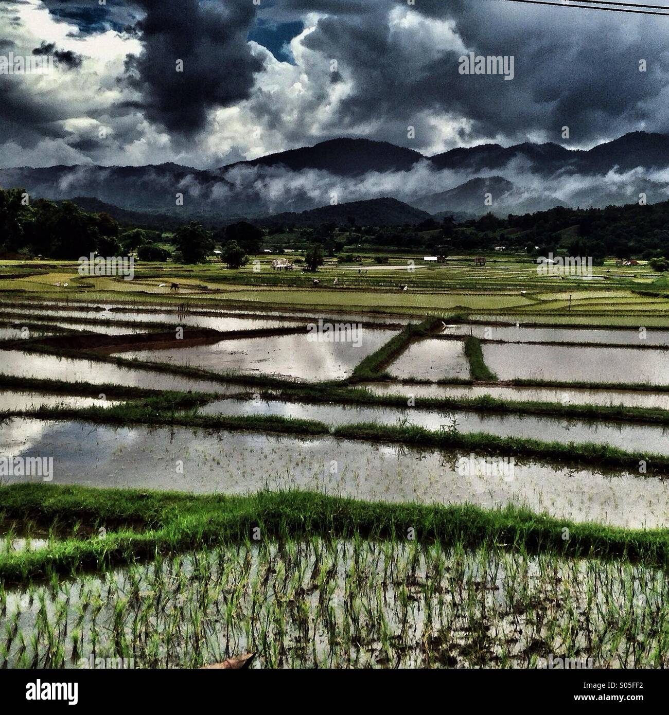 Rice fields psi Stock Photo