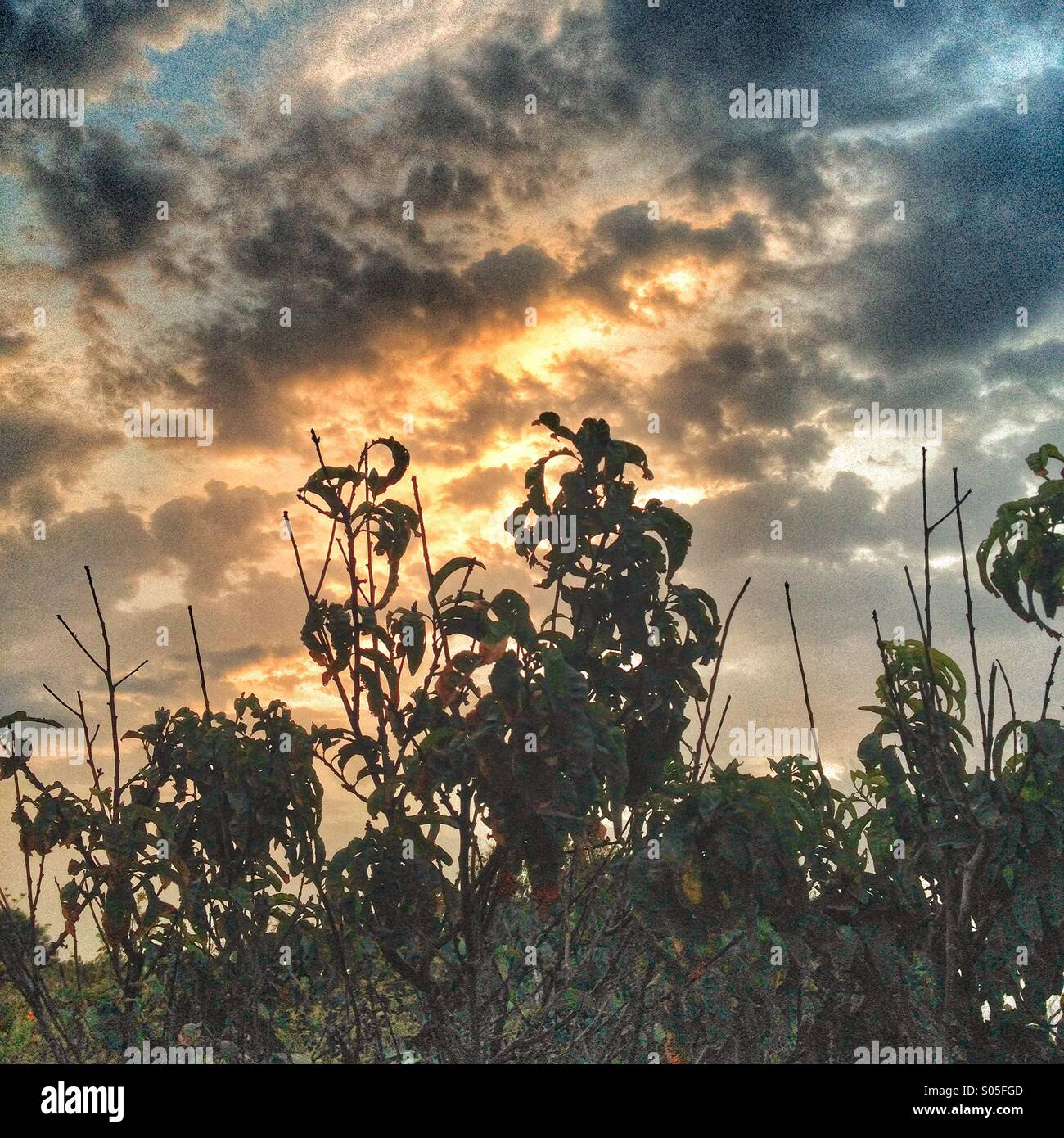 Tall weeds against a cloudy sunrise sky - Stock Image