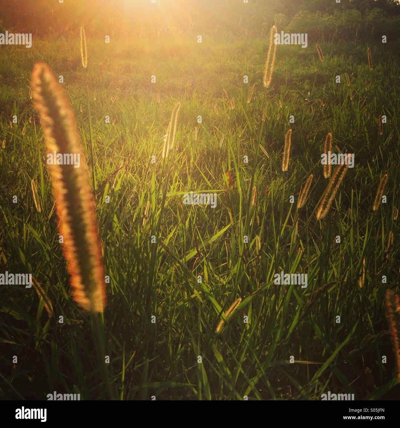 Golden light on cattails. - Stock Image