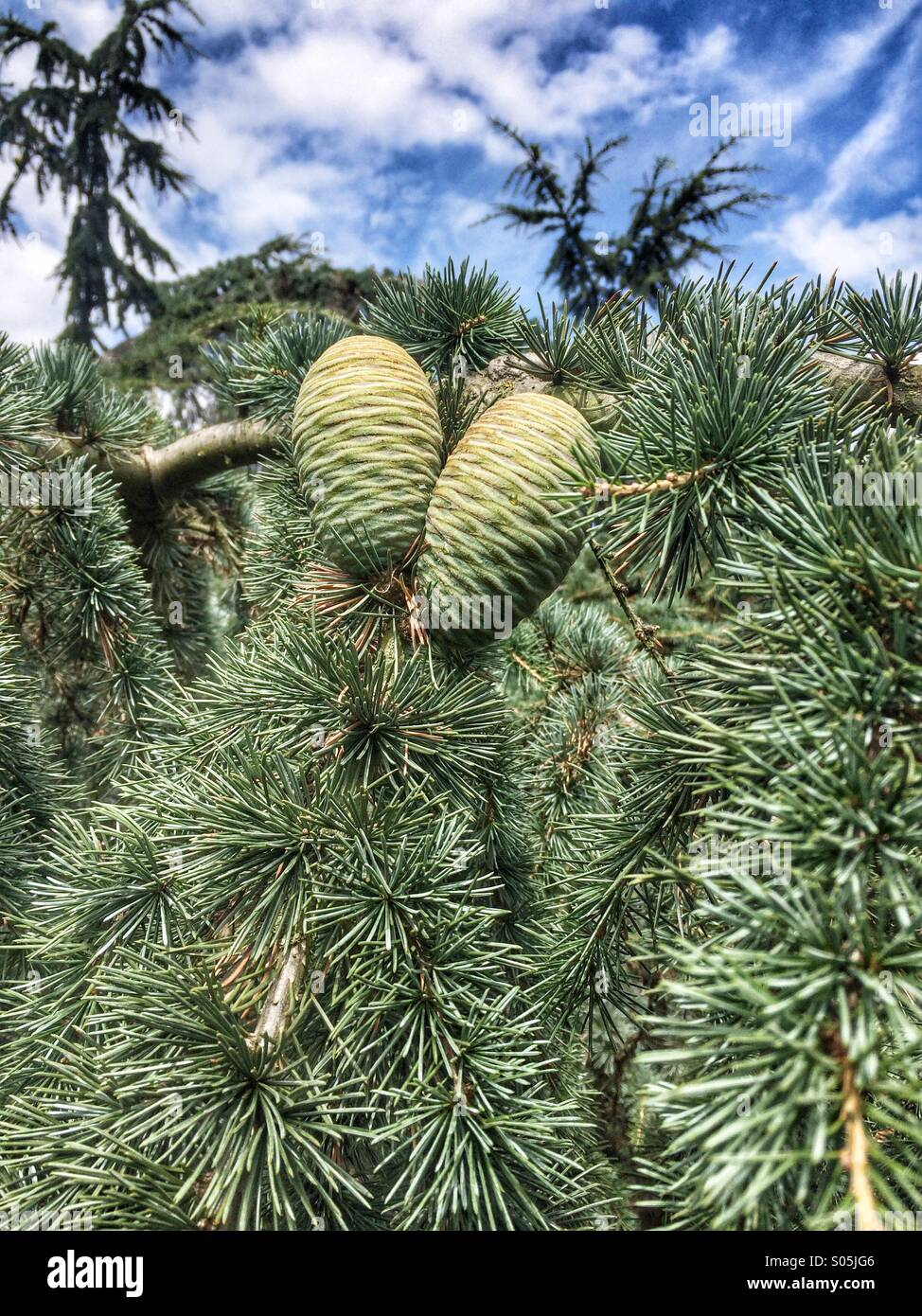 Immature pine cones in a tree. - Stock Image
