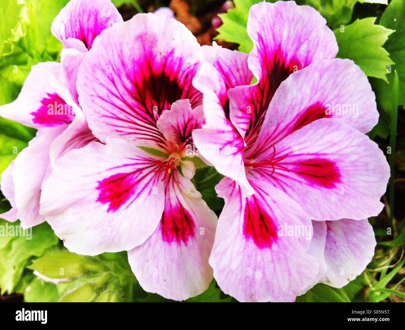 Pink and white geranium stock photos pink and white geranium stock white pink geranium flowers stock image mightylinksfo