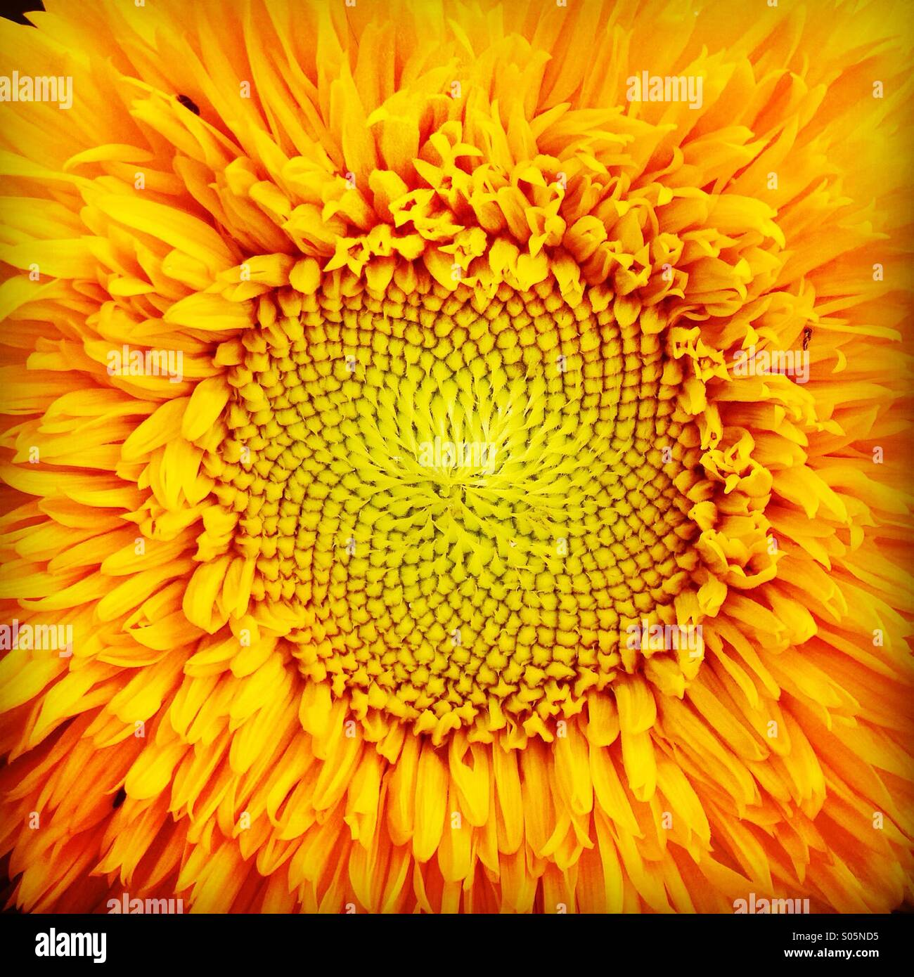 Orange sunflower close up showing yellow seed heads vibrant - Stock Image