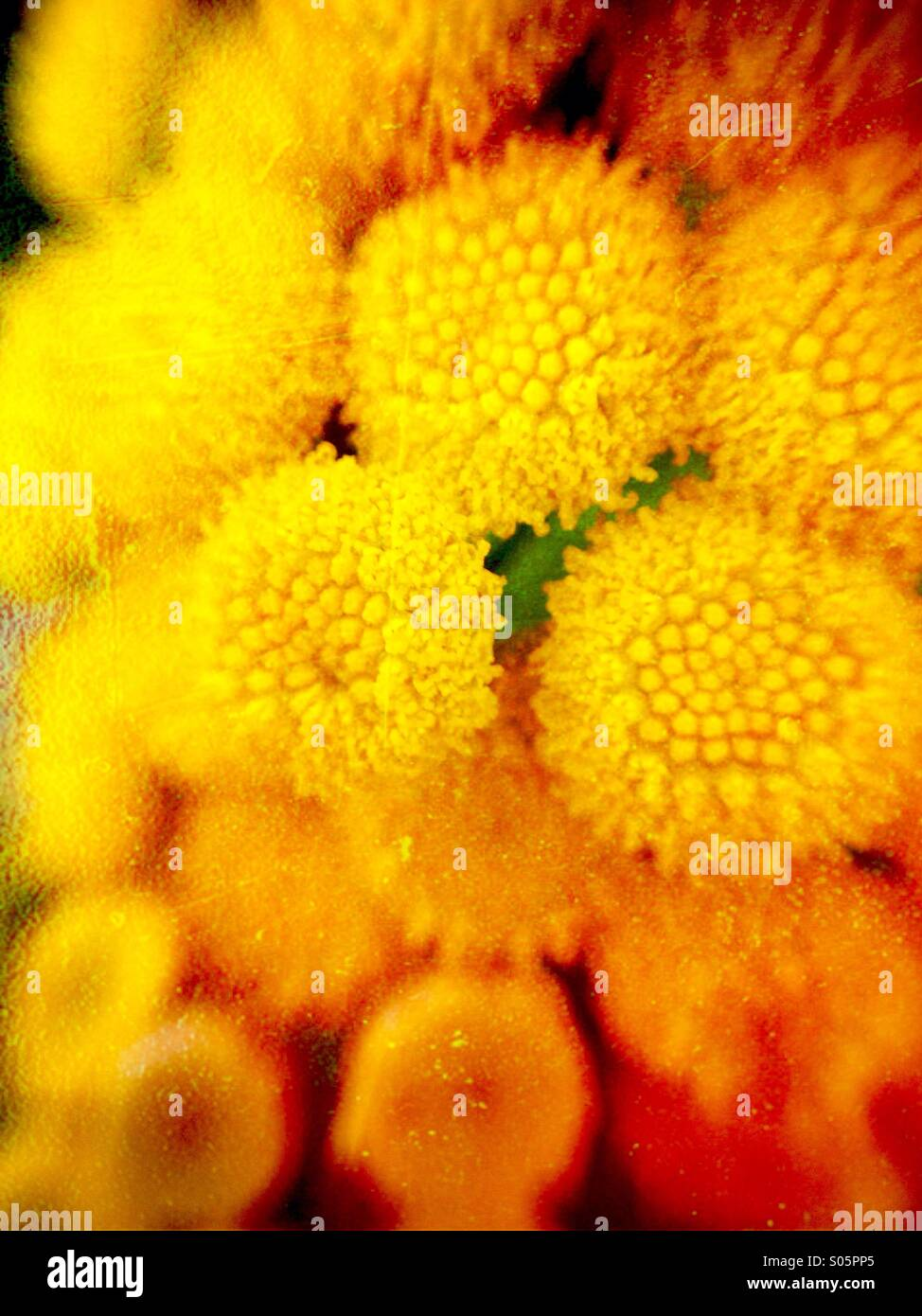 Close up of achillea (moonshine) flowers - Stock Image