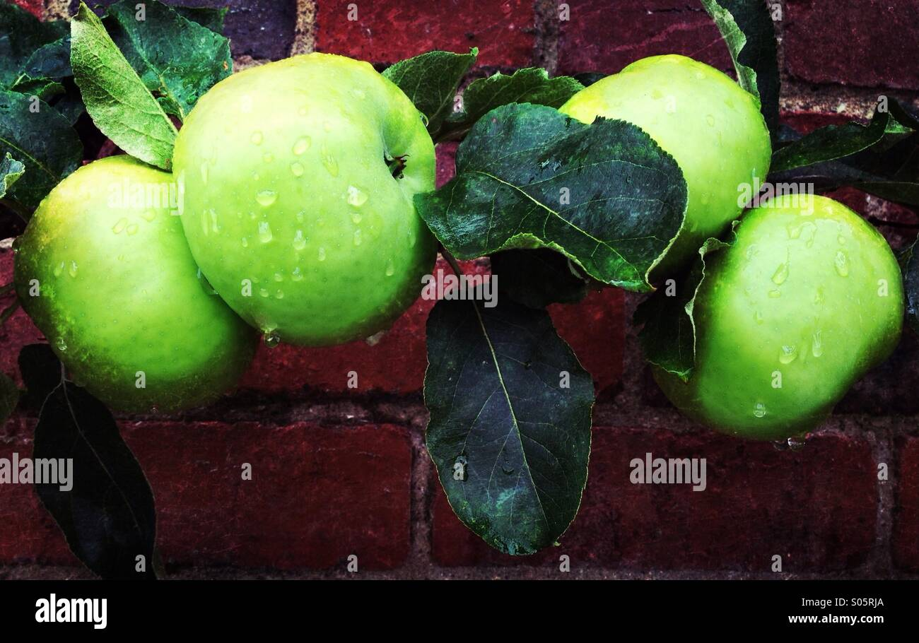 Golden Spire apples in rain - Stock Image