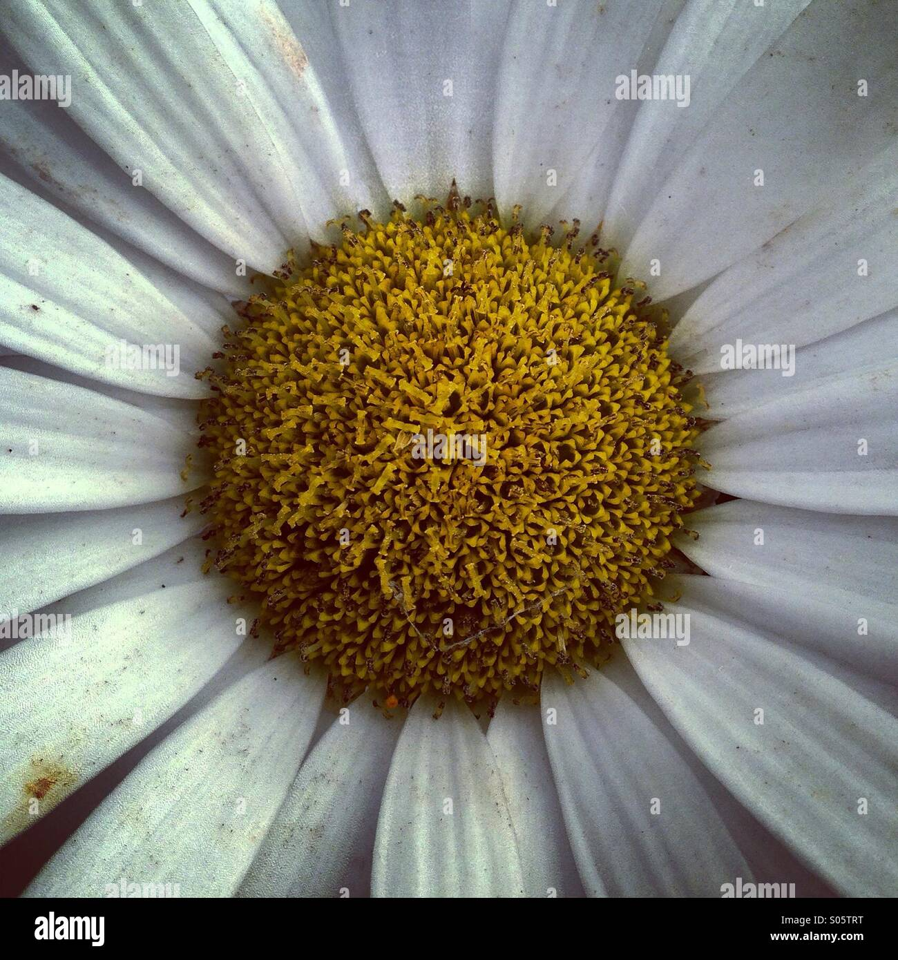The centre of a daisy flower with white faded petals stock photo the centre of a daisy flower with white faded petals izmirmasajfo