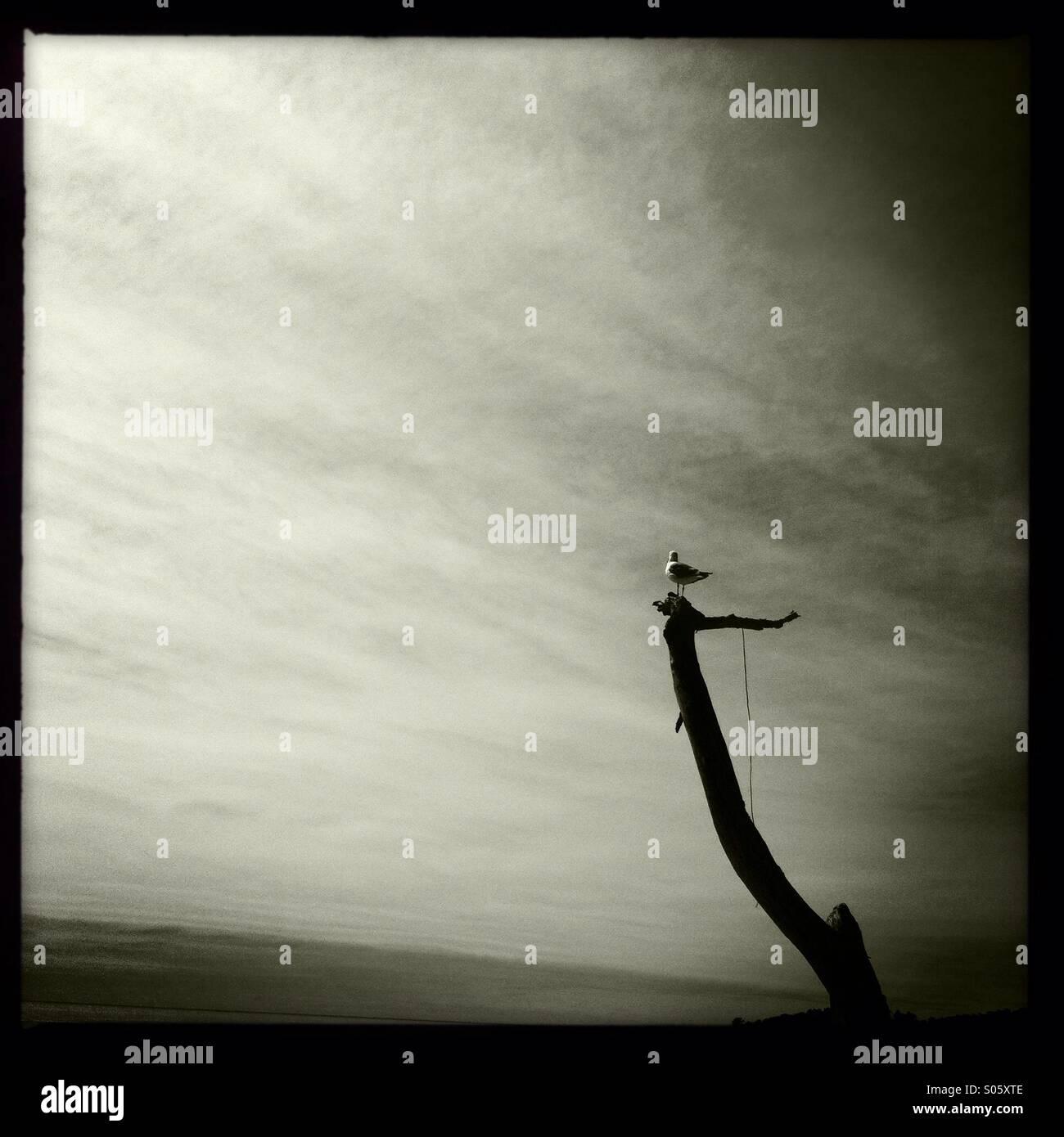 Seagull perching on dead tree, Carmel, California - Stock Image