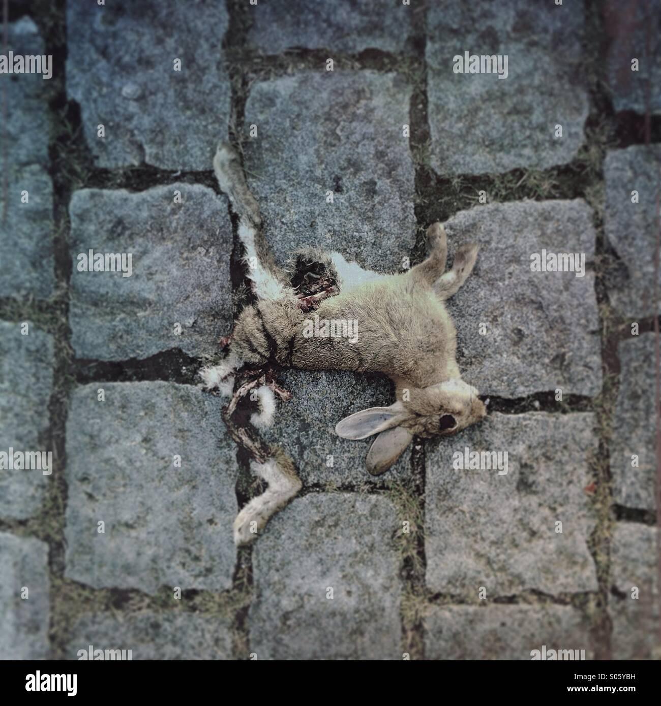 Dead rabbit, road kill on urban street. - Stock Image