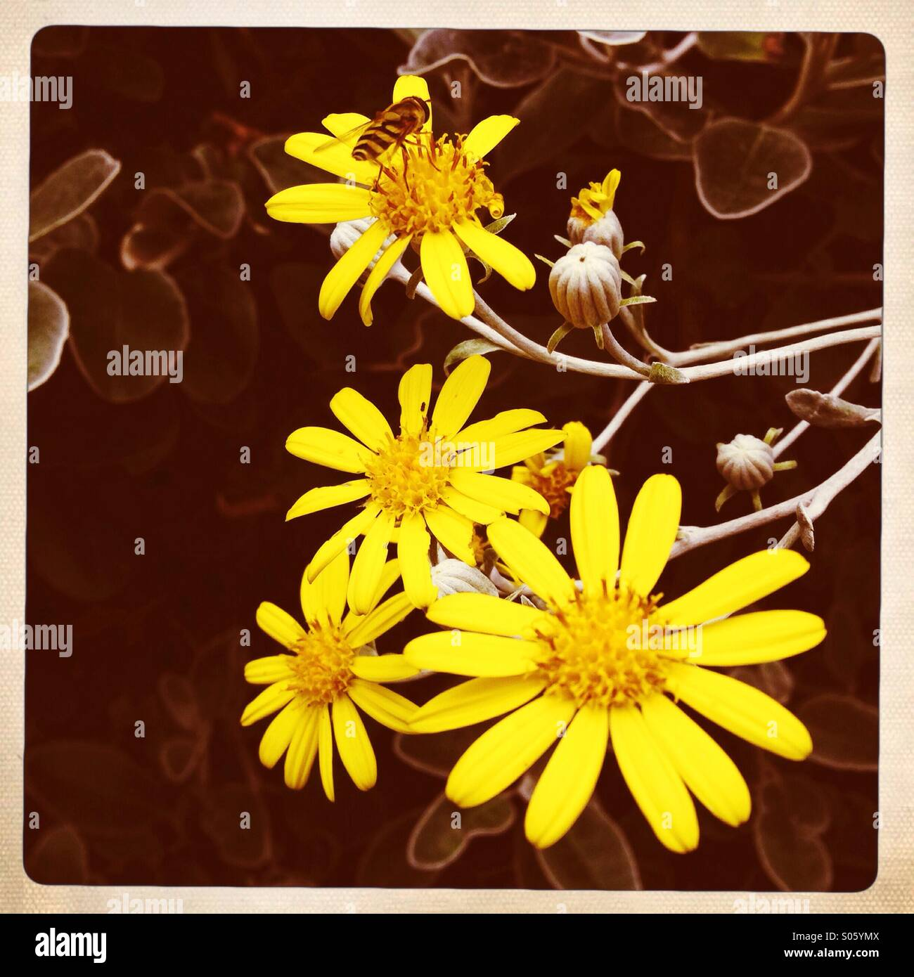 Pretty little yellow flowers (asters?) - Stock Image