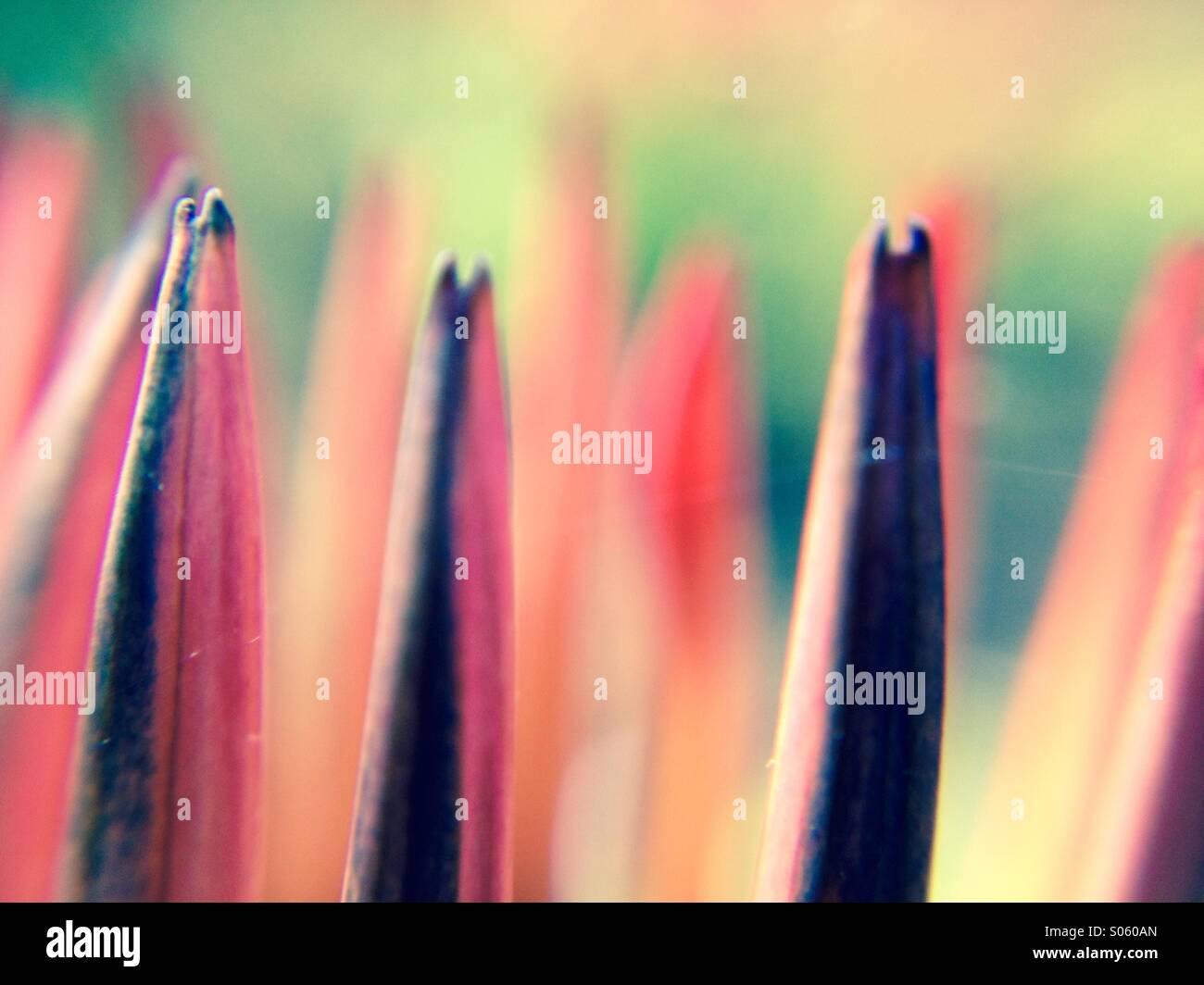 Close up view of gazania petals - Stock Image