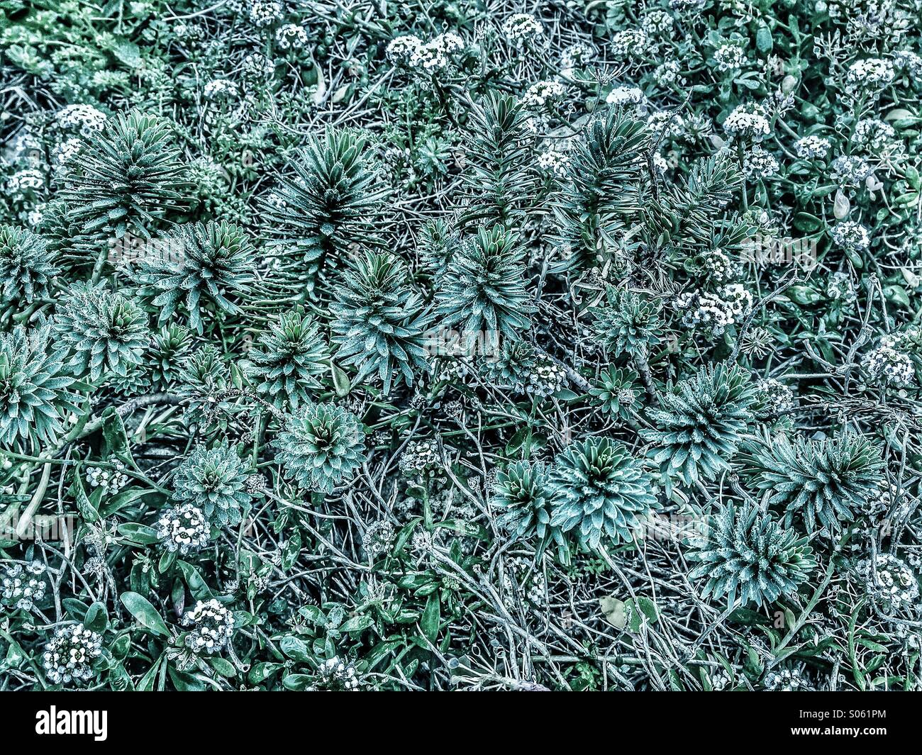 Succulent plants forming a dense bed on limestone - Stock Image