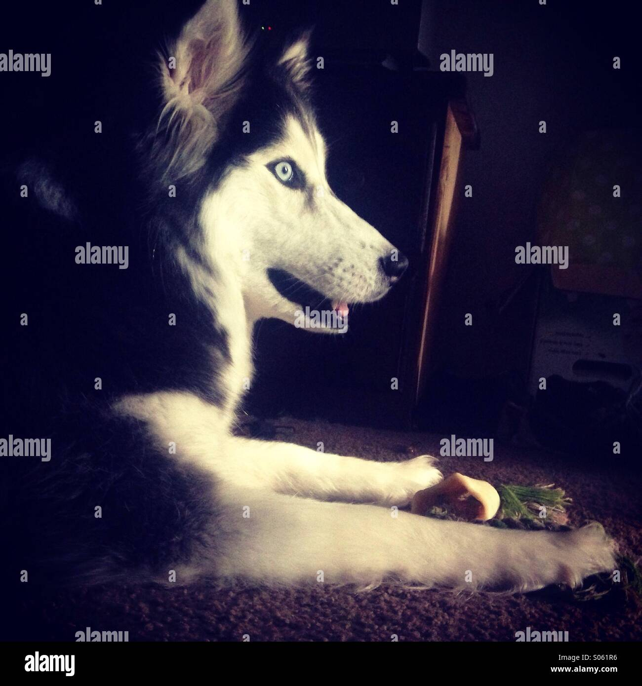 Lucy the adopted Siberian Husky - Stock Image