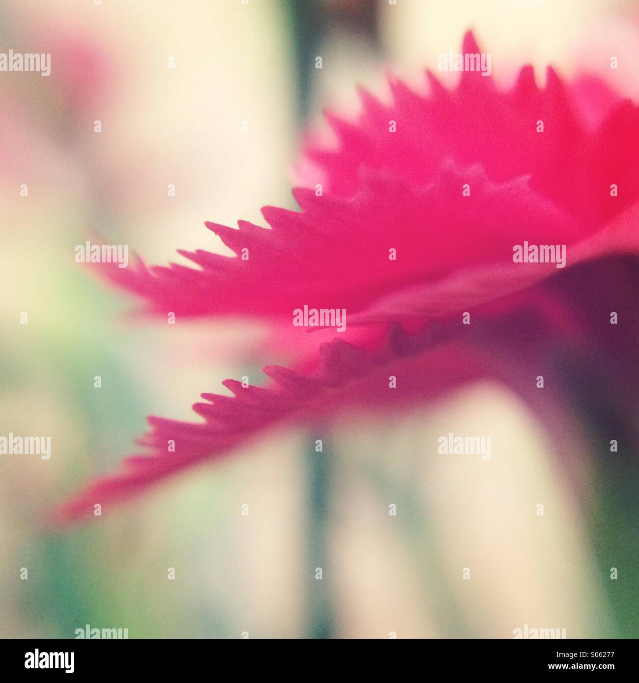 Pink Carnation flower - Stock Image
