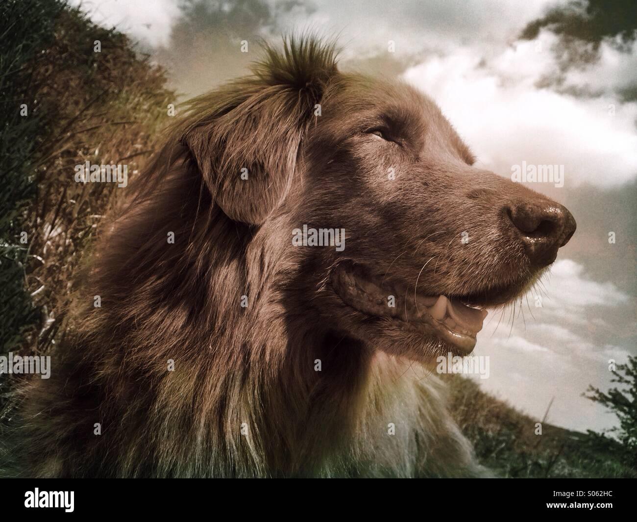 Old male dog - Stock Image
