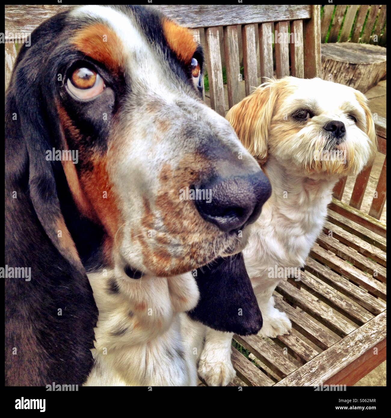 Close up of 2 dogs sat side by side on a bench - Stock Image