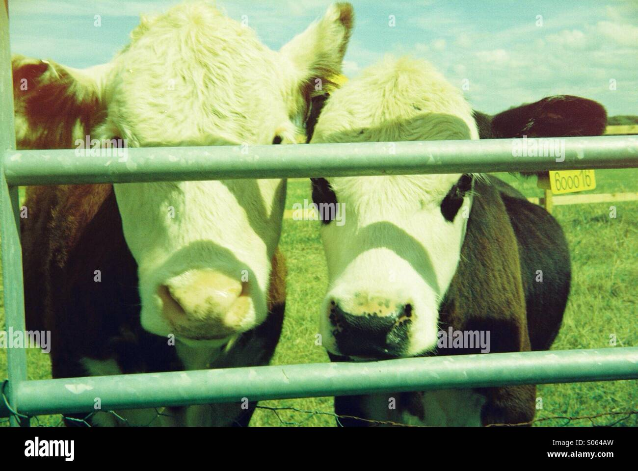 Two cows looking at the camera through a metal gate. - Stock Image