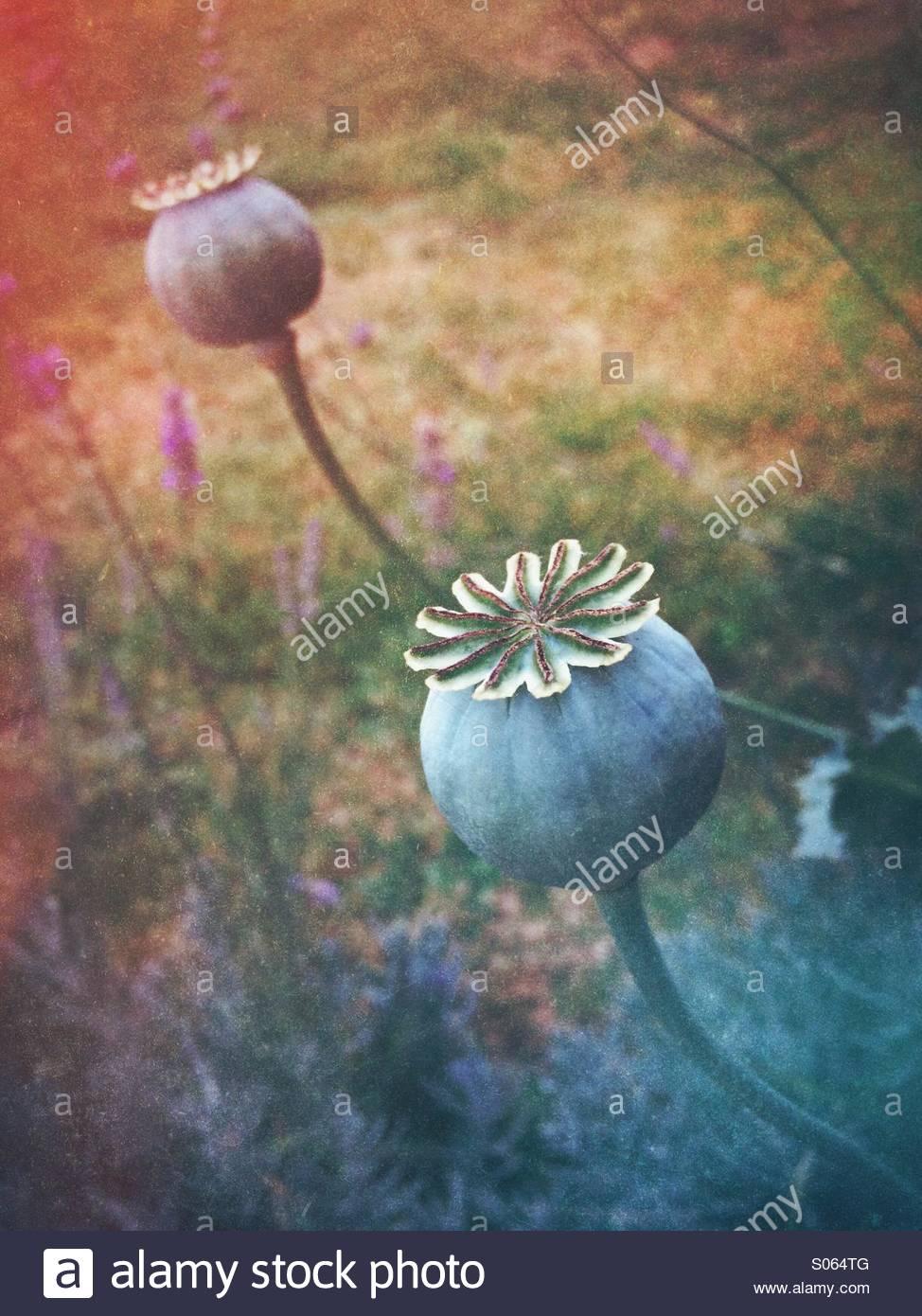 Poppy seed heads - Stock Image