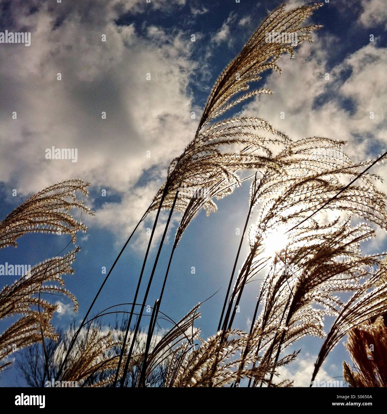 Ornamental grasses backlit by the sun. - Stock Image