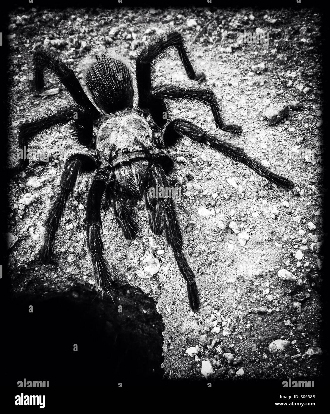 A tarantula creeps across the desert floor. - Stock Image
