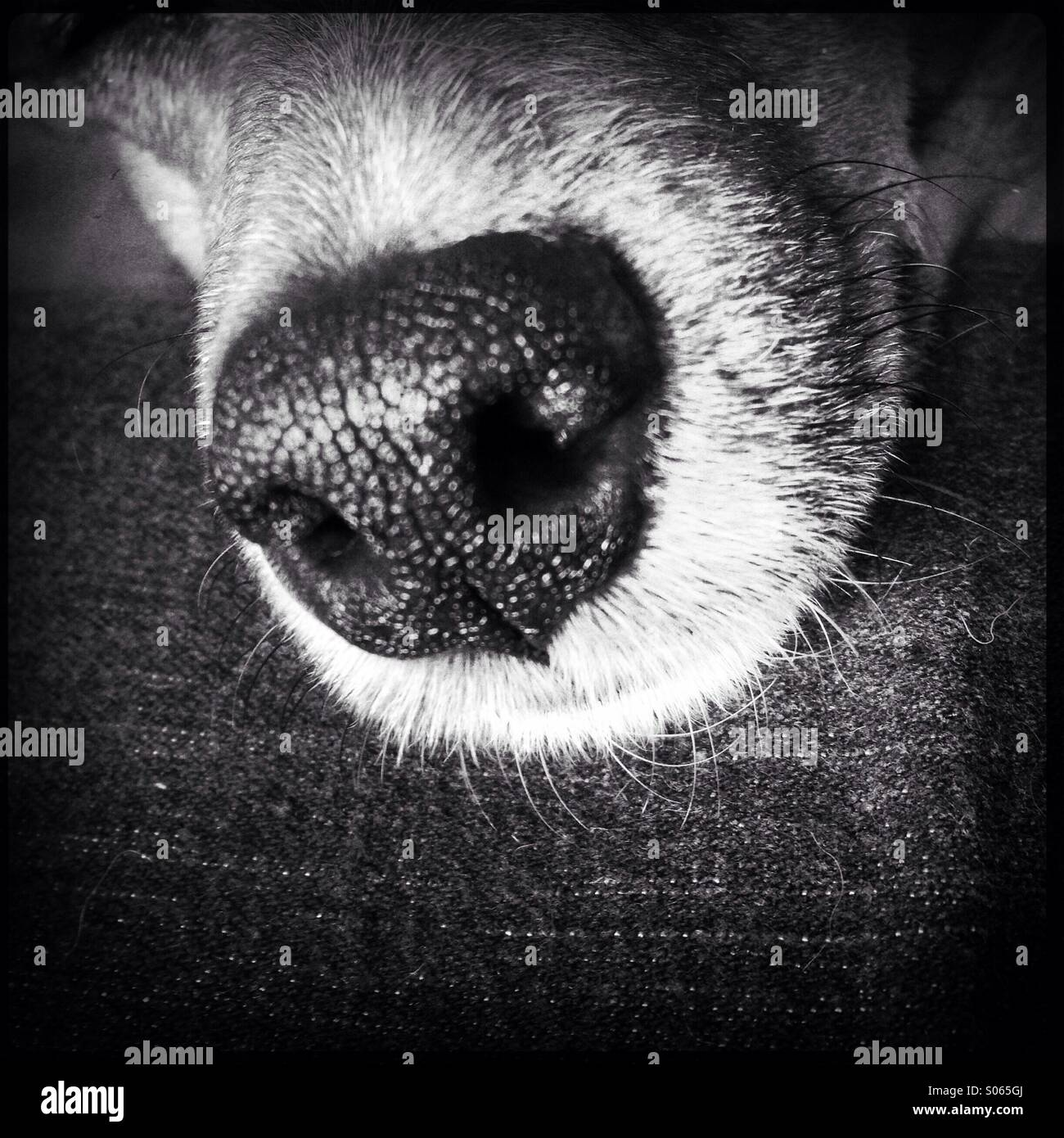 Jack Russell's nose - Stock Image