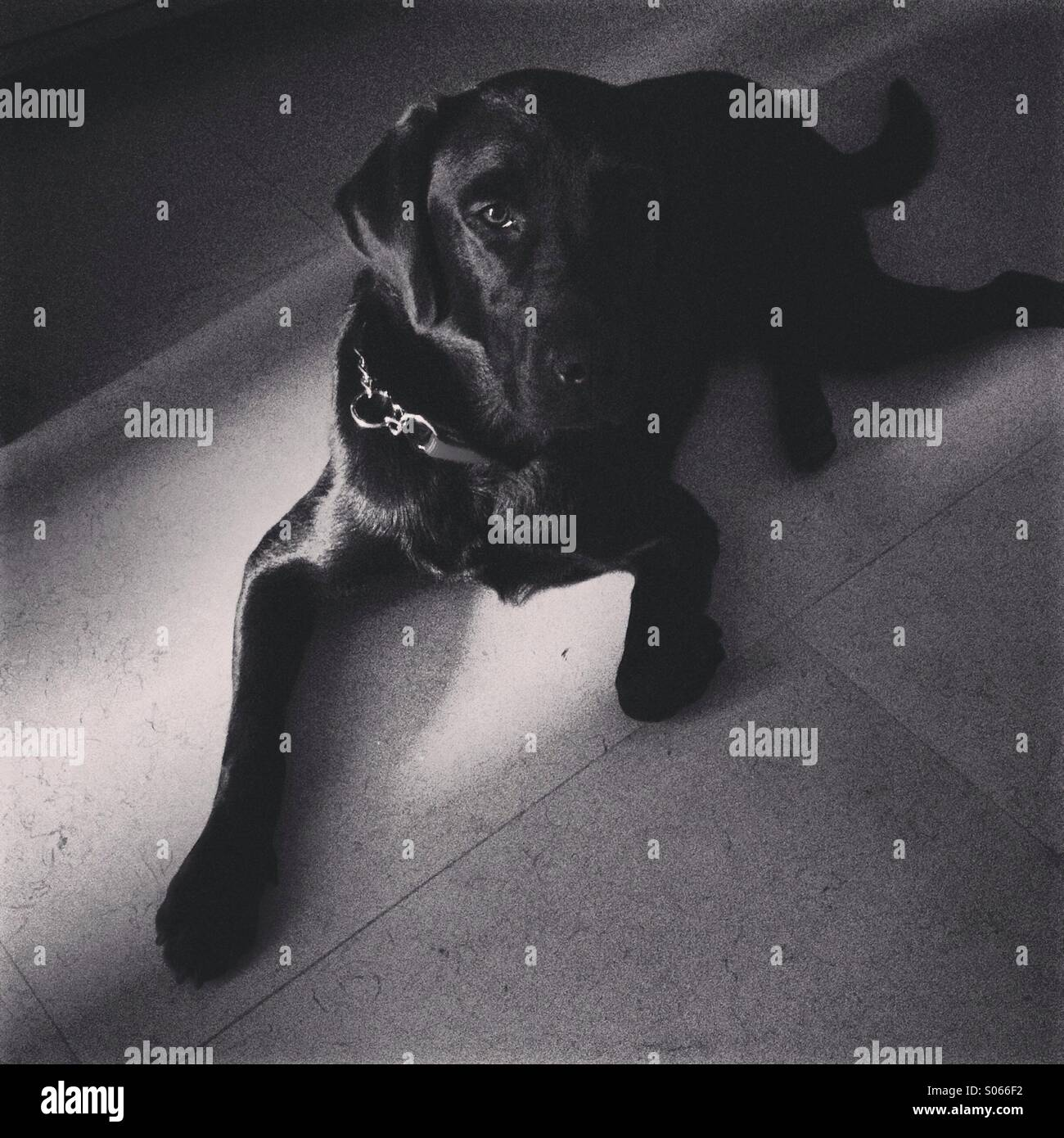 Black dog Labrador Retriever looking at camera - Stock Image