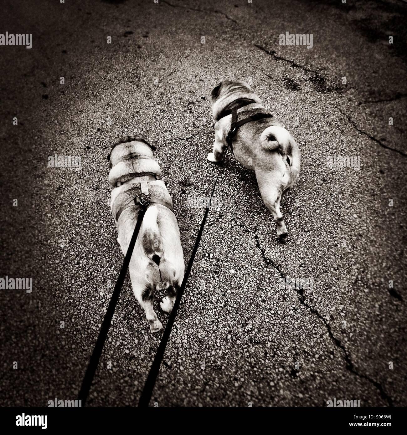 Walking two pugs. - Stock Image