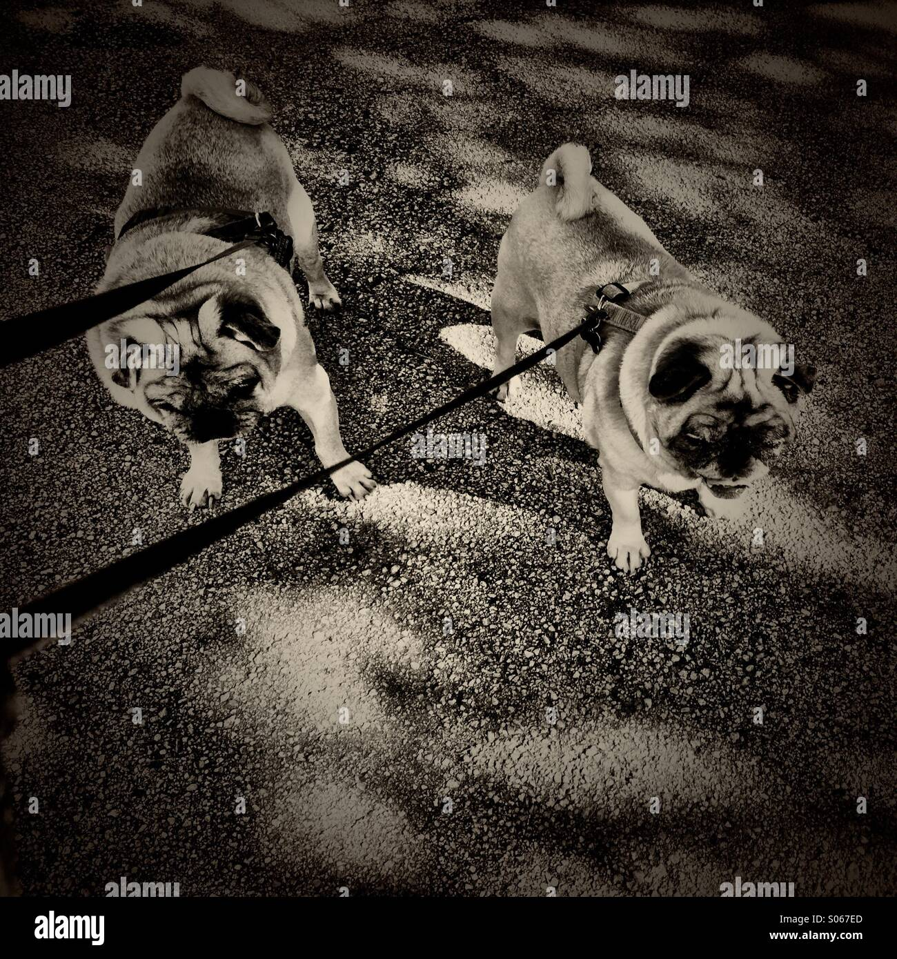 Two pugs on leashes. - Stock Image
