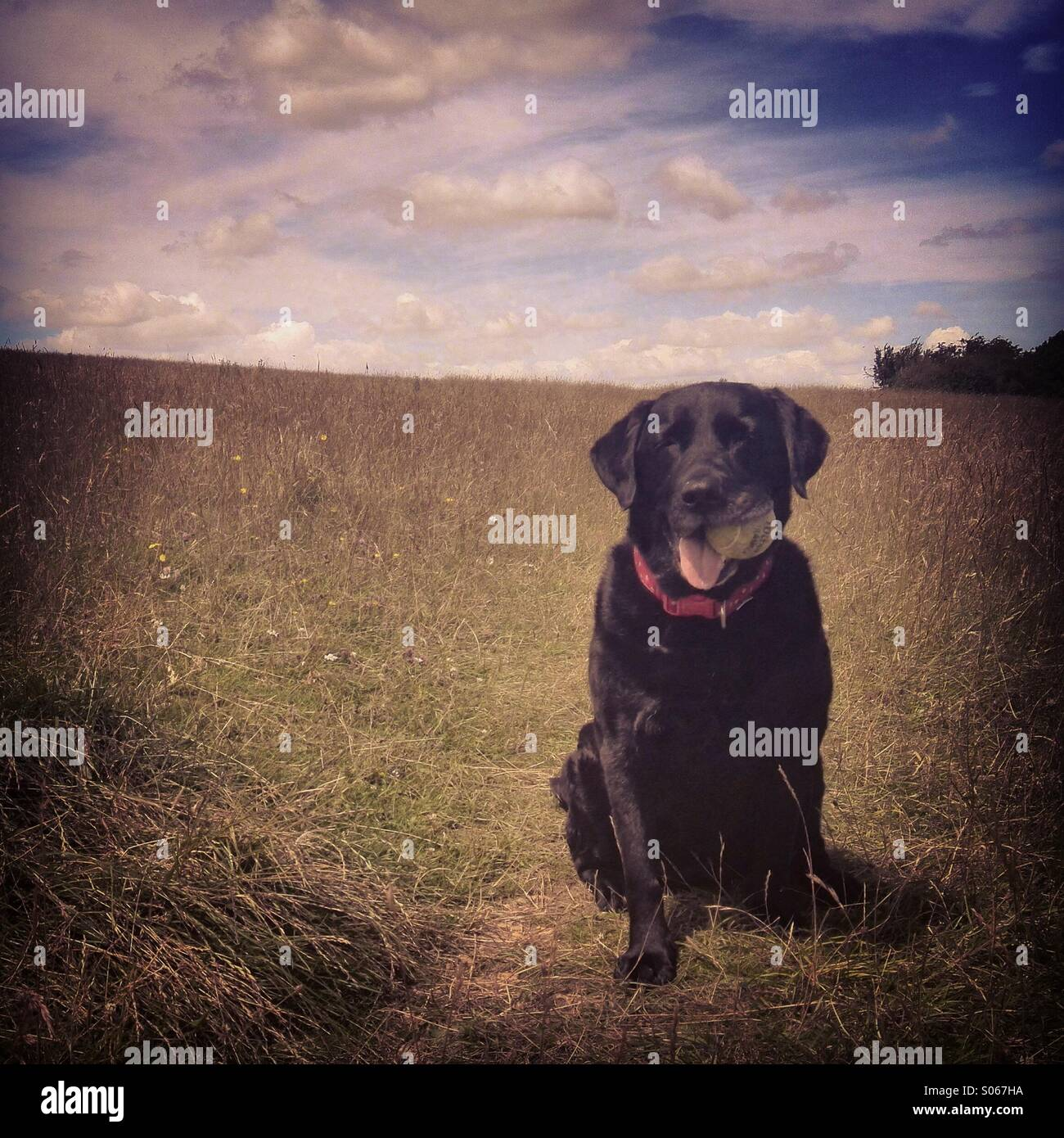 Black Labrador waits with a ball to play fetch - Stock Image