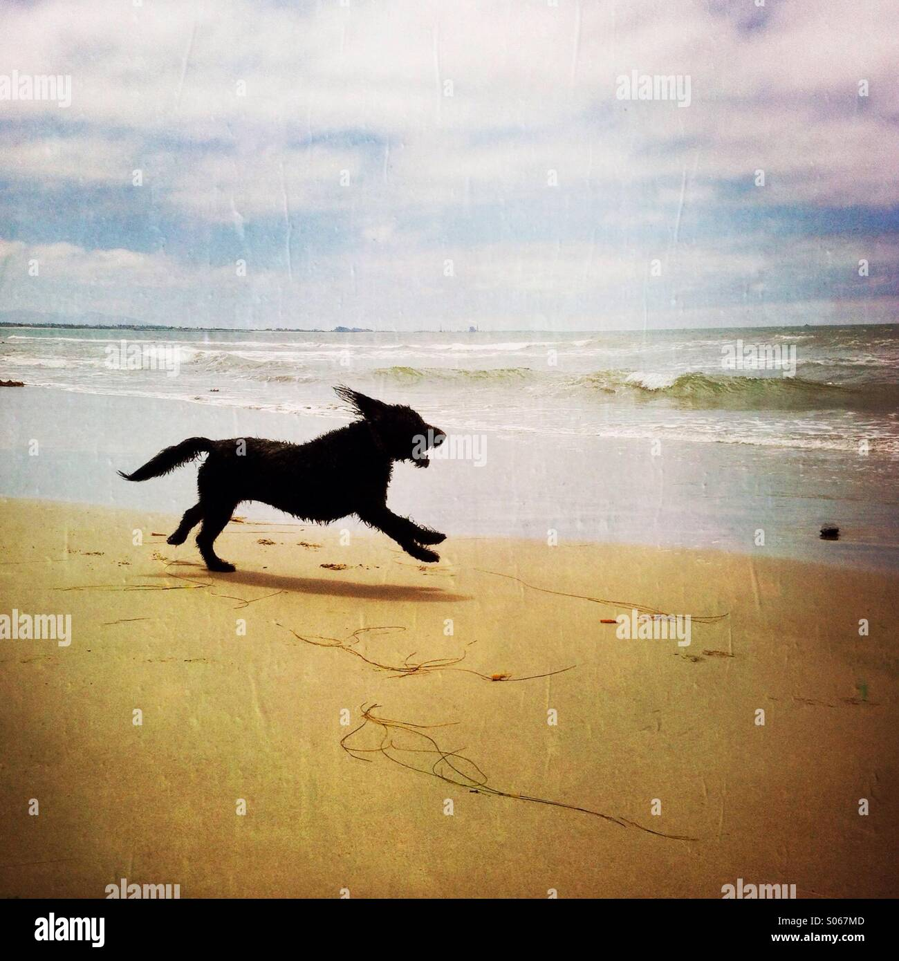 A happy labradoodle dog playing on the beach. Ventura California USA. - Stock Image