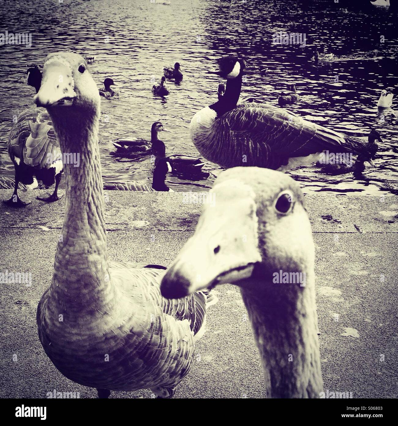 Feeding the ducks and geese - Stock Image