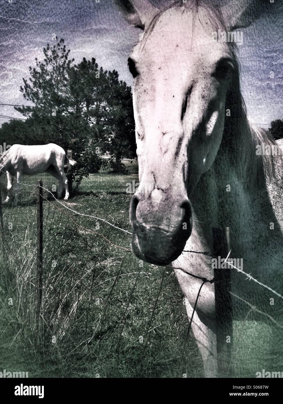 White horse gaze. - Stock Image
