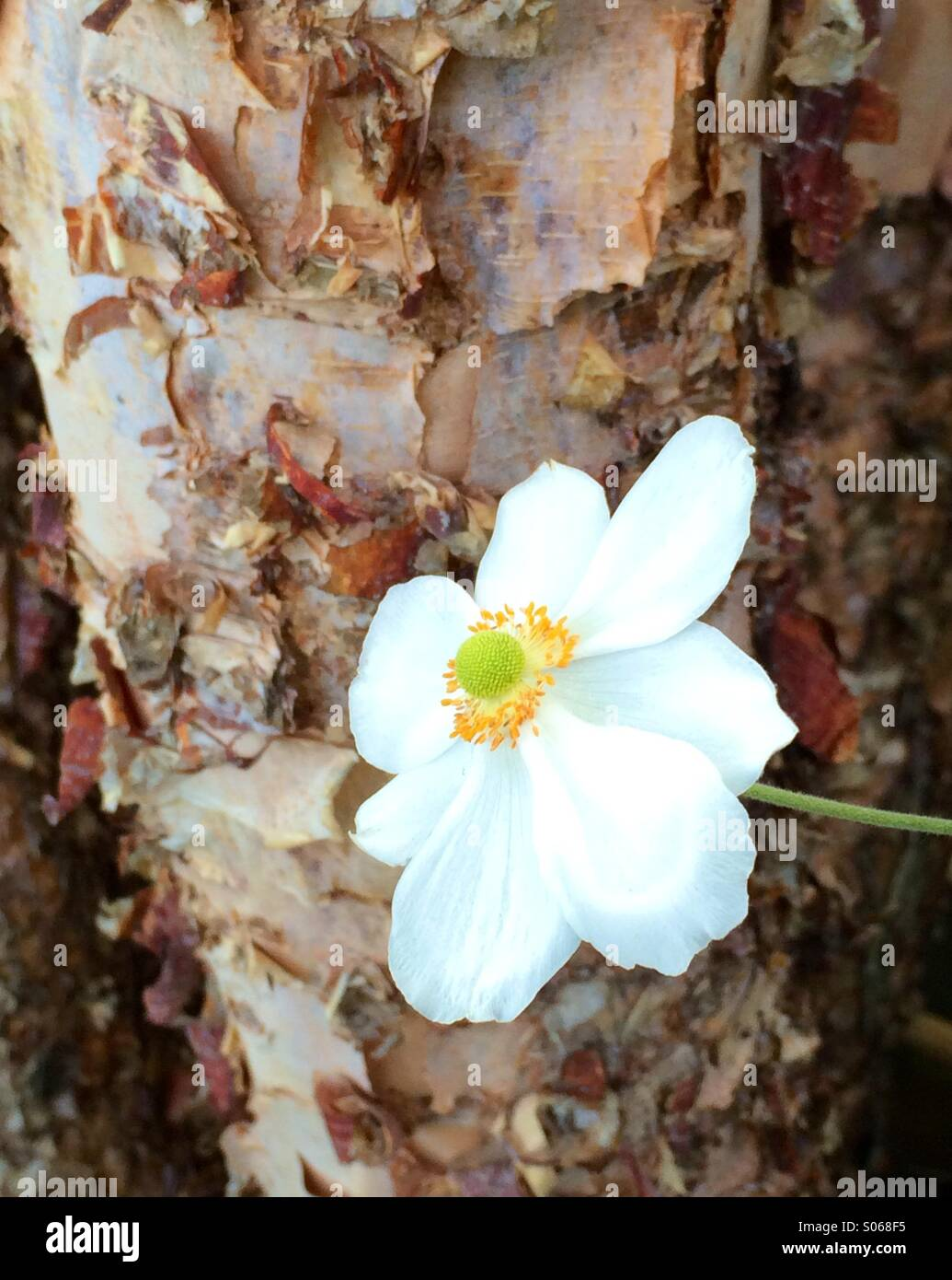 Rough and smooth bark stock photos rough and smooth bark stock silky smooth petals of this beautiful white flower meet the rough textures of the neighboring tree mightylinksfo
