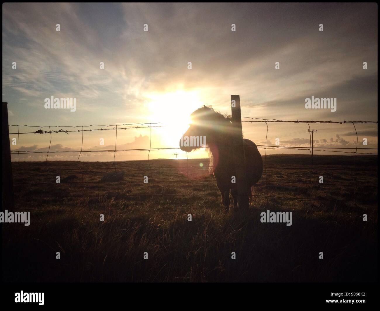 Shetland Pony behind fence in Shetland. Lee Ramsden / ALAMY - Stock Image