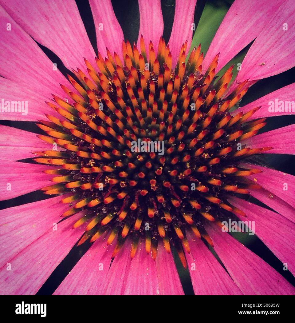 Close Up of Bright Pink Echinacea Flower - Stock Image