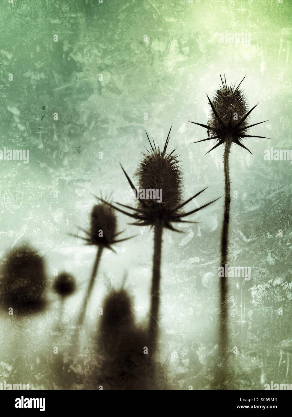 Dry weed pods reaching toward the sky. - Stock Image