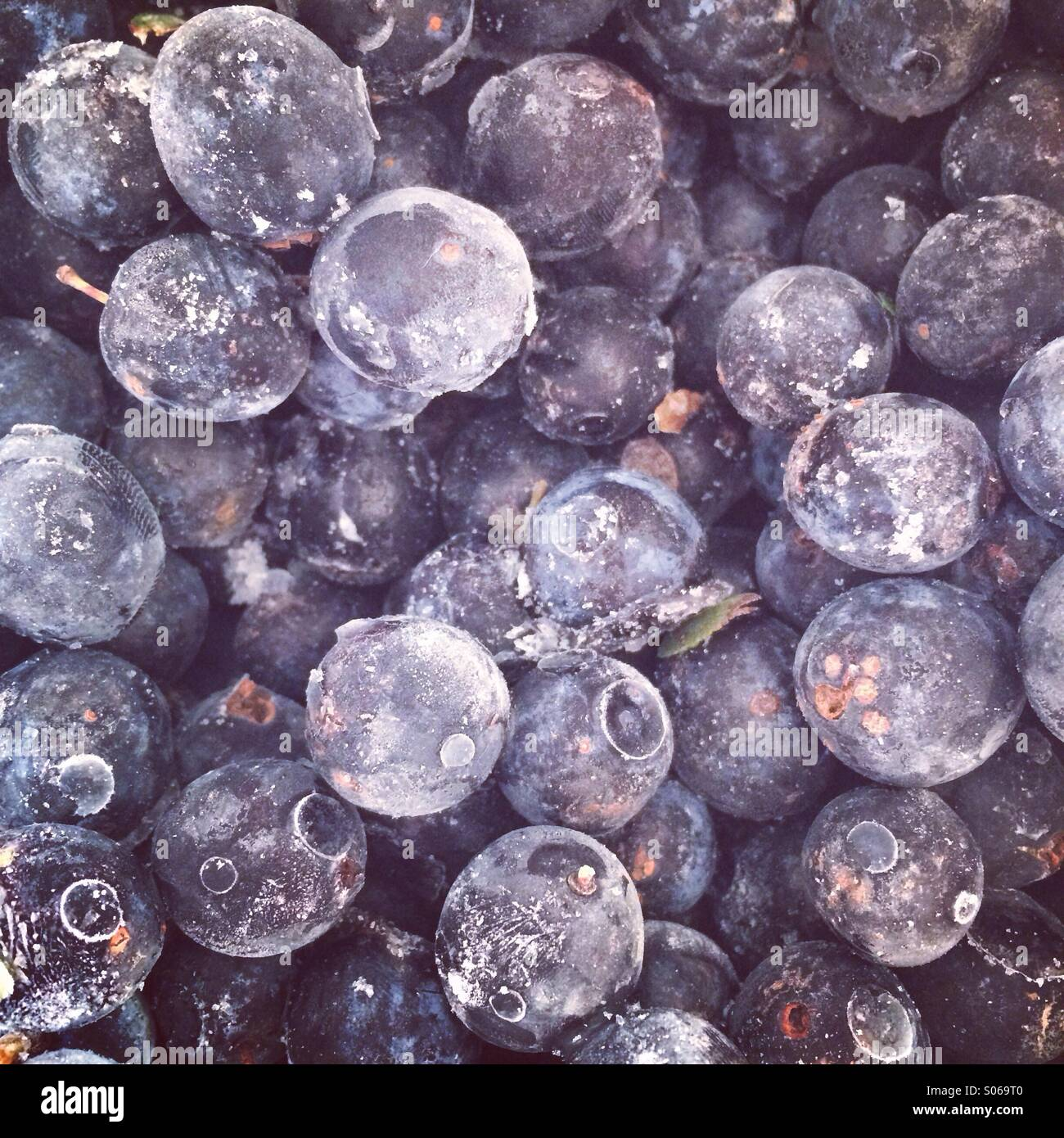Frozen Sloes ready for Gin - Stock Image
