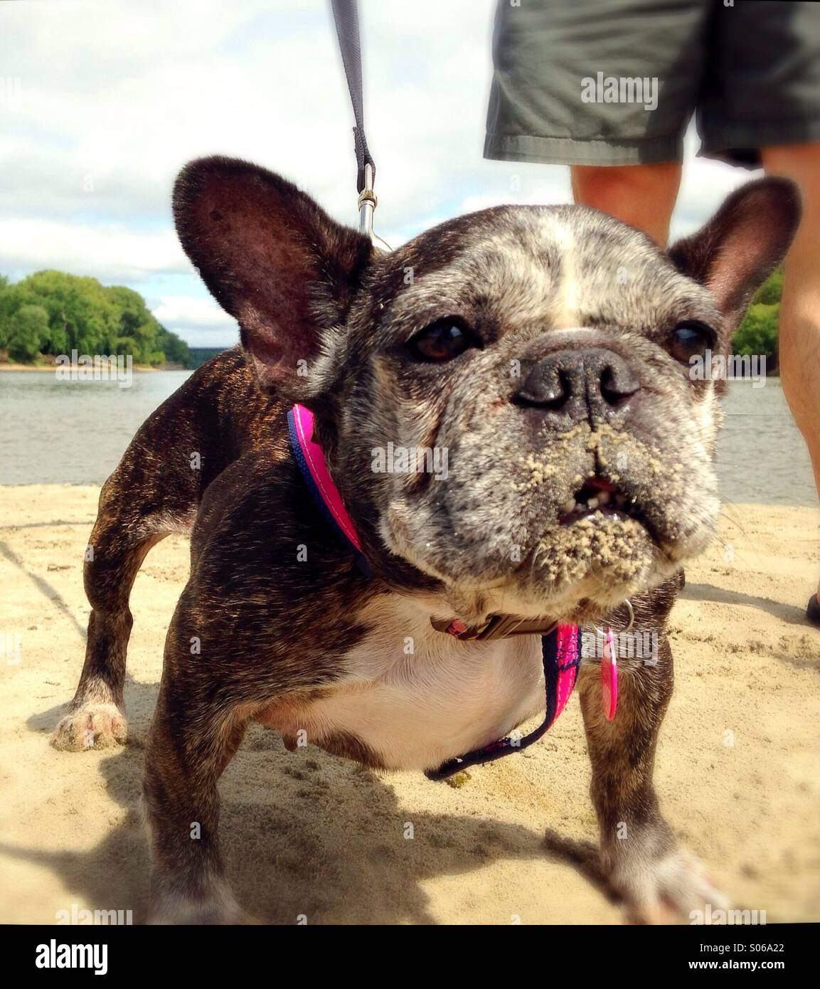 A funny french bulldog with sand on her face. Stock Photo