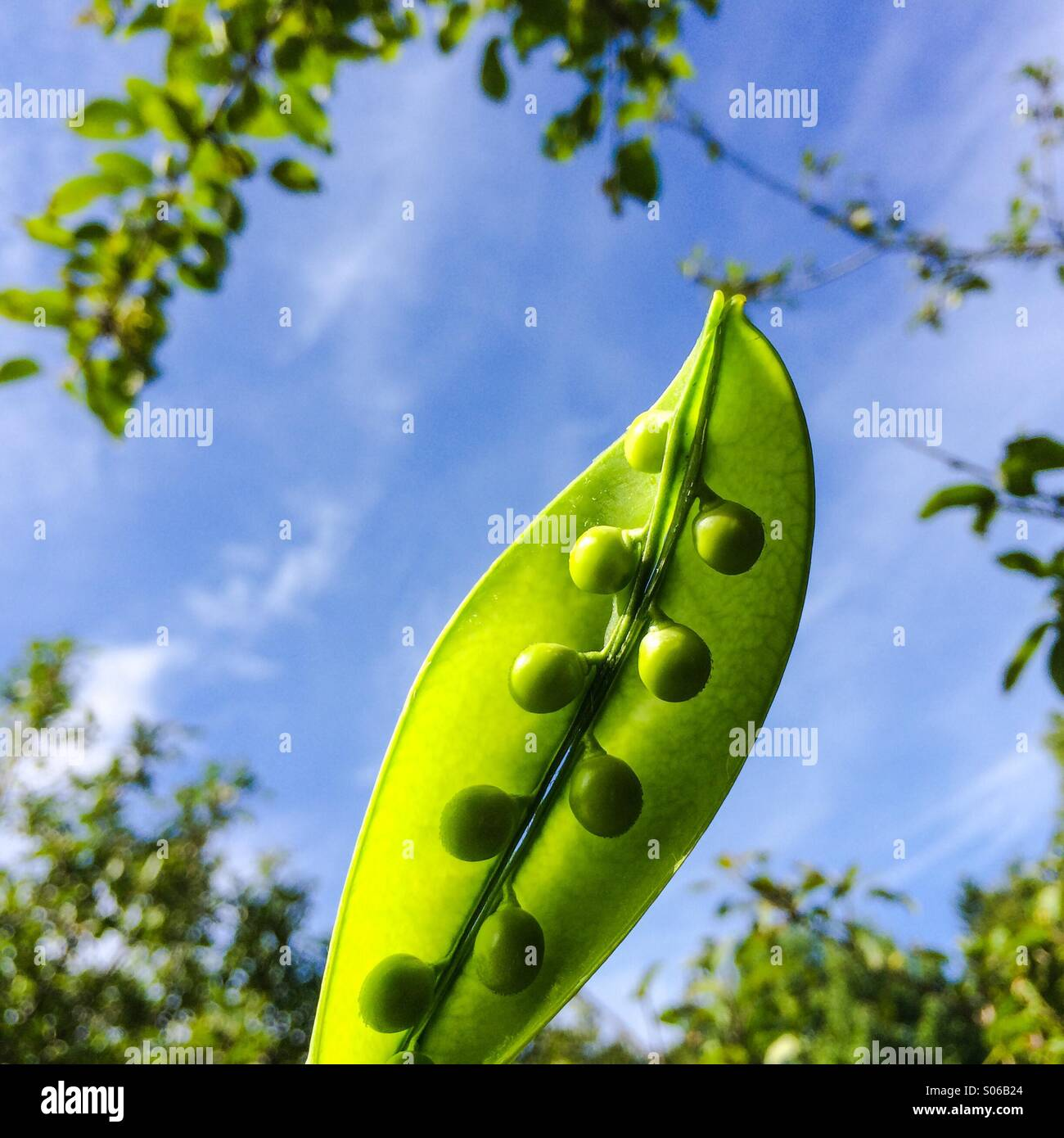 Pea pod opened to expose symmetry of peas. - Stock Image