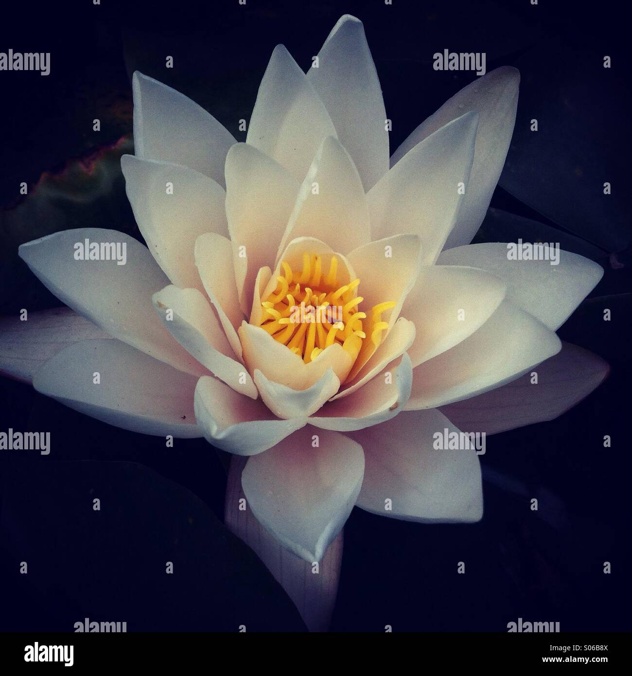 A water lily bloom opens in the late evening sunshine. - Stock Image