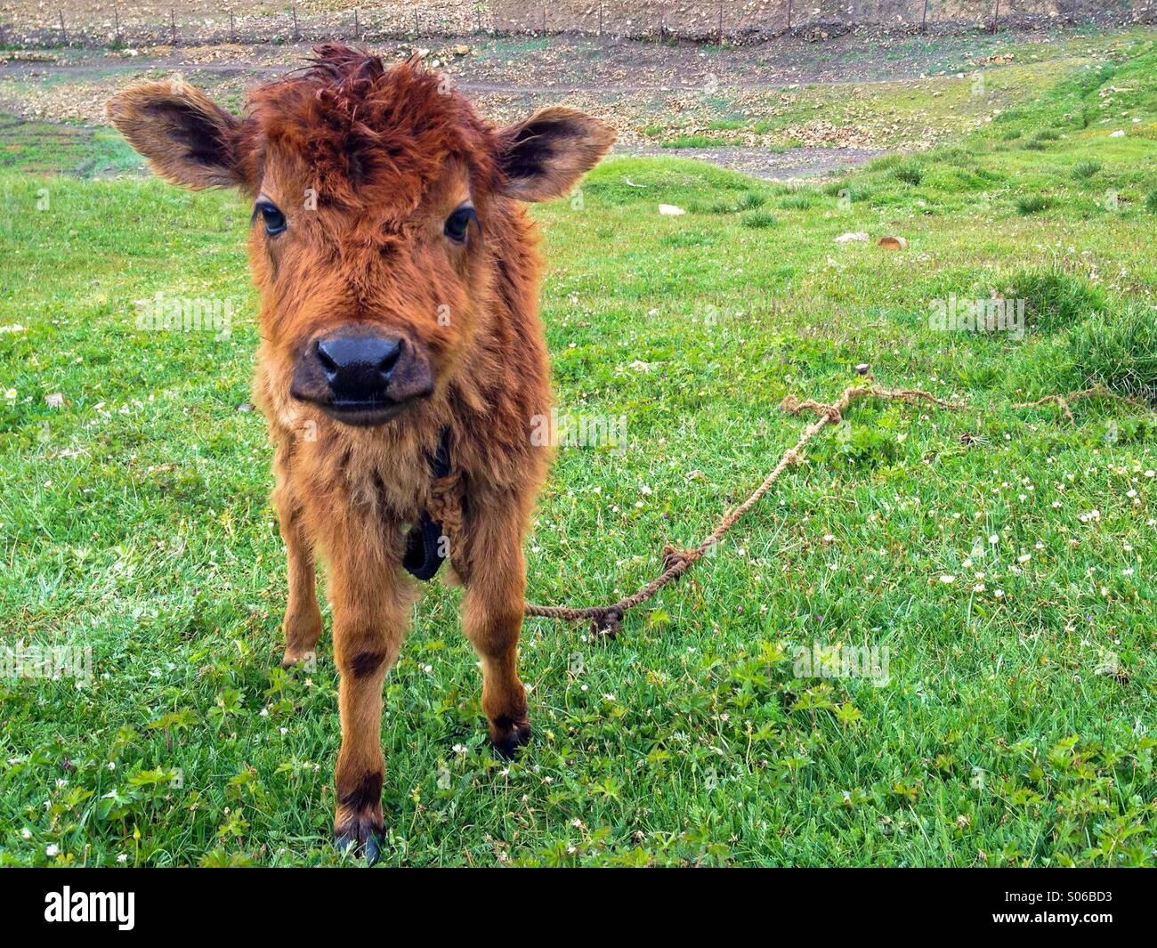 A cute calf in Hikkim village of Spiti, Himachal Pradesh, India - Stock Image