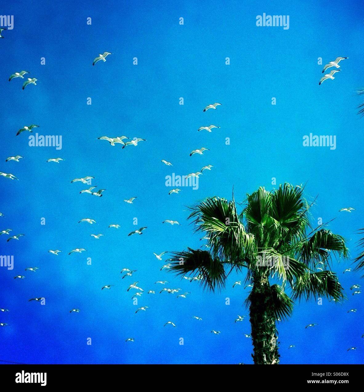 A palm tree and seagulls flying. Manhattan beach, California USA. - Stock Image