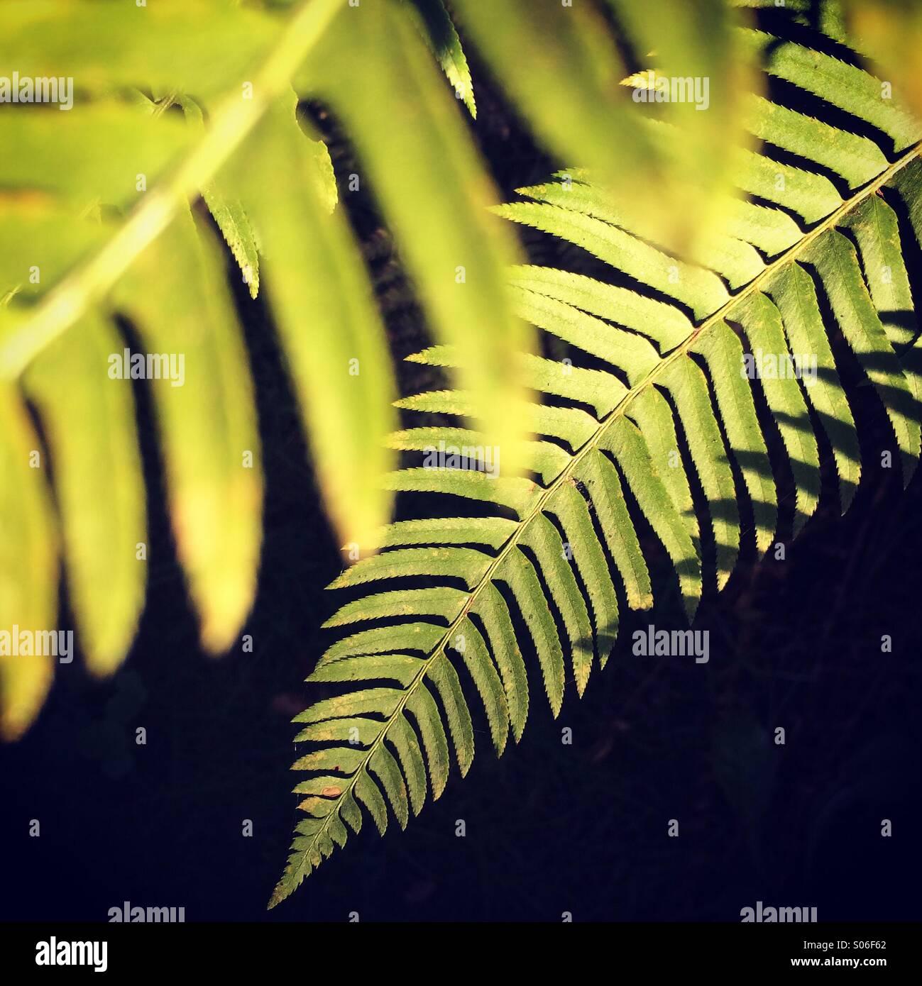 Fern fronds in sunlight, Key Peninsula, Kopachuck State Park, Washington State - Stock Image