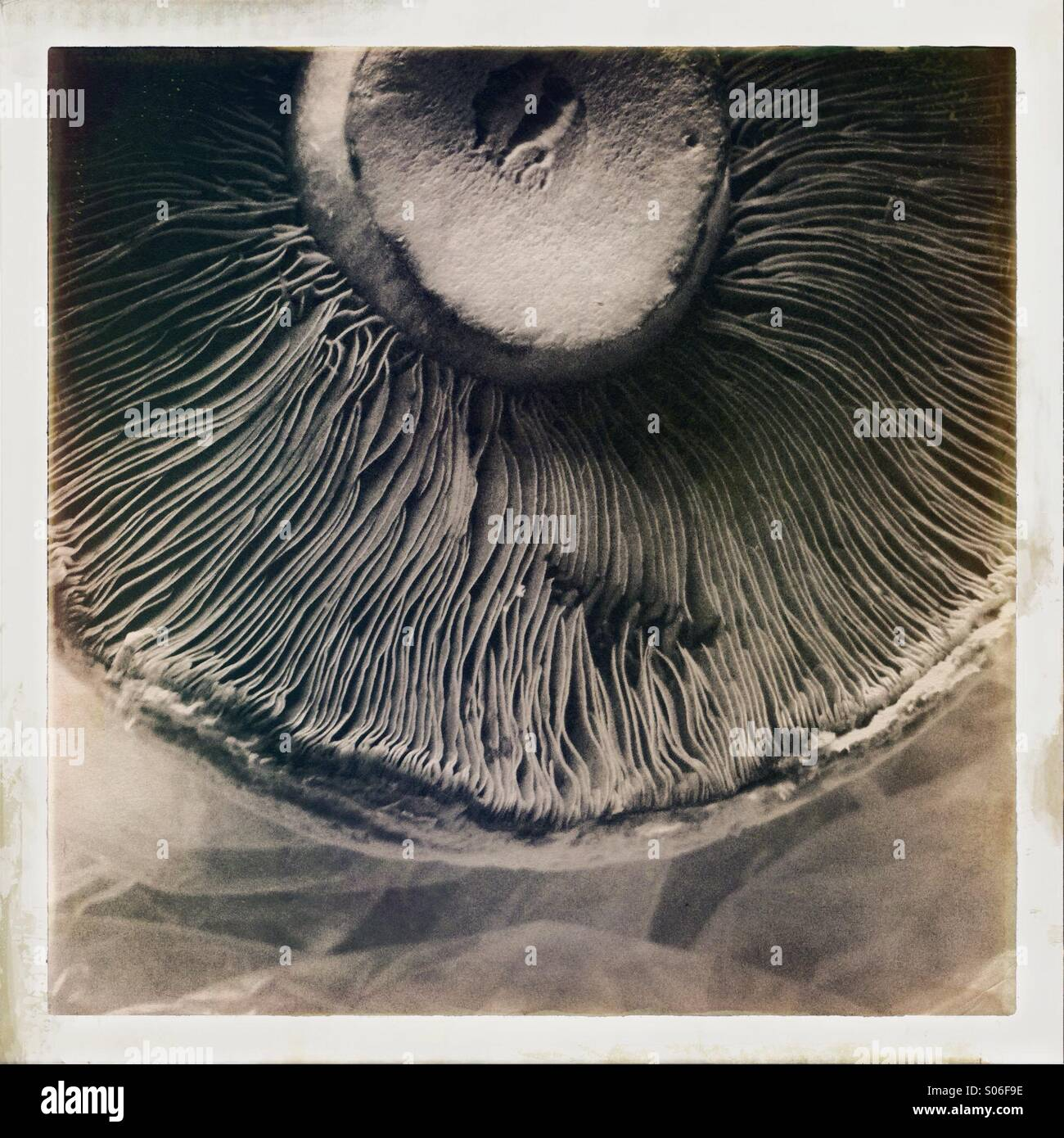 Delicate lines and folds of a mushroom underside - Stock Image