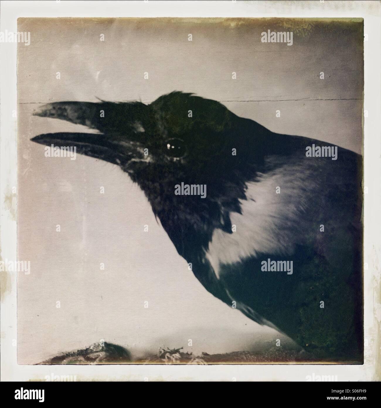 A shiny eyed, sharp beaked crow - Stock Image