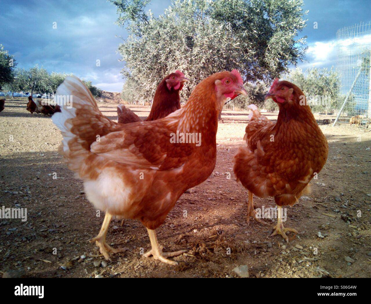 Three chickens outdoors in farm - Stock Image