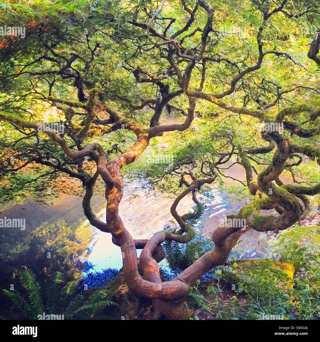 Japanese Maple, autumn, Kubota Gardens, Seattle - Stock Image