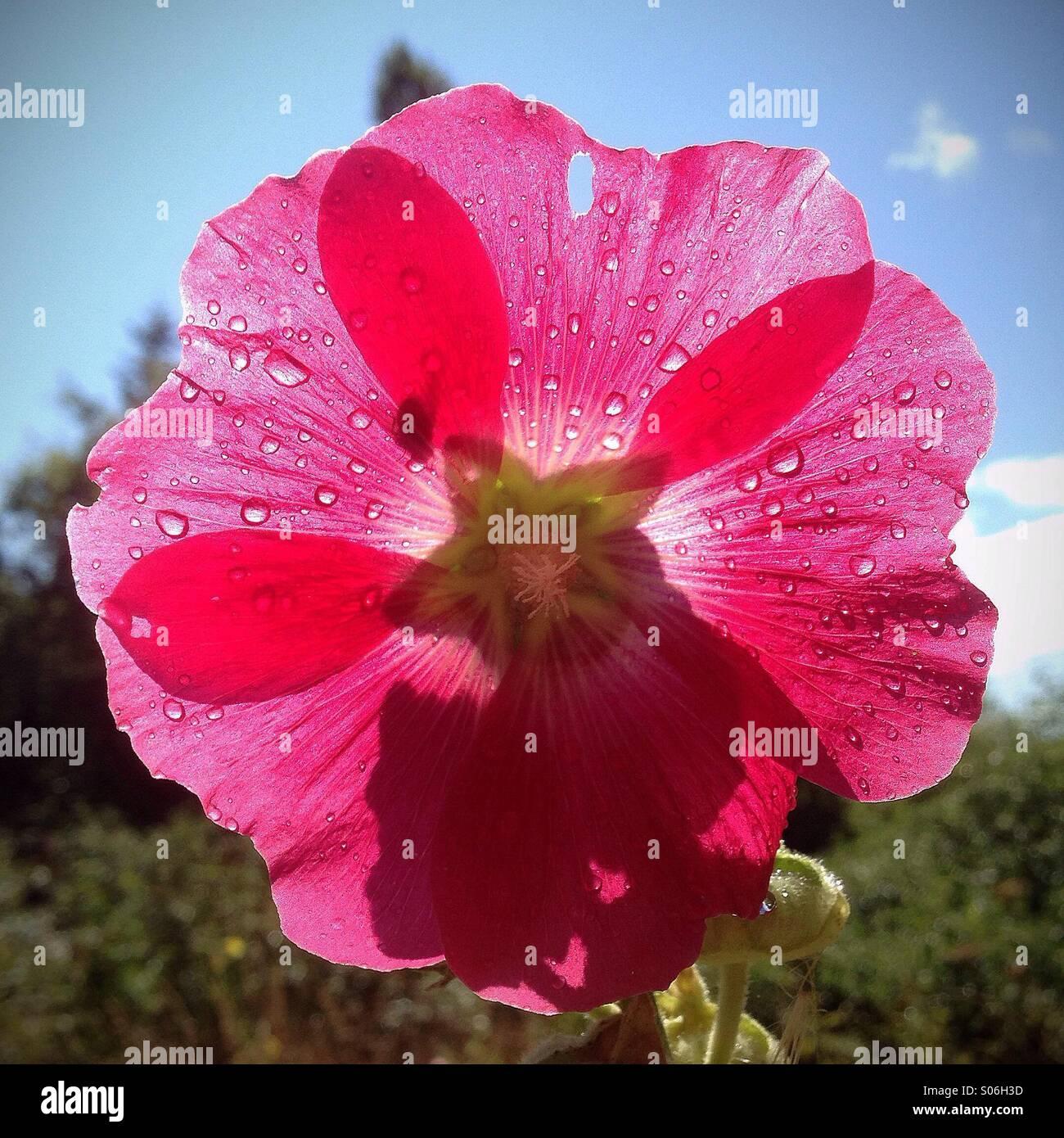 Backlit flower - Stock Image