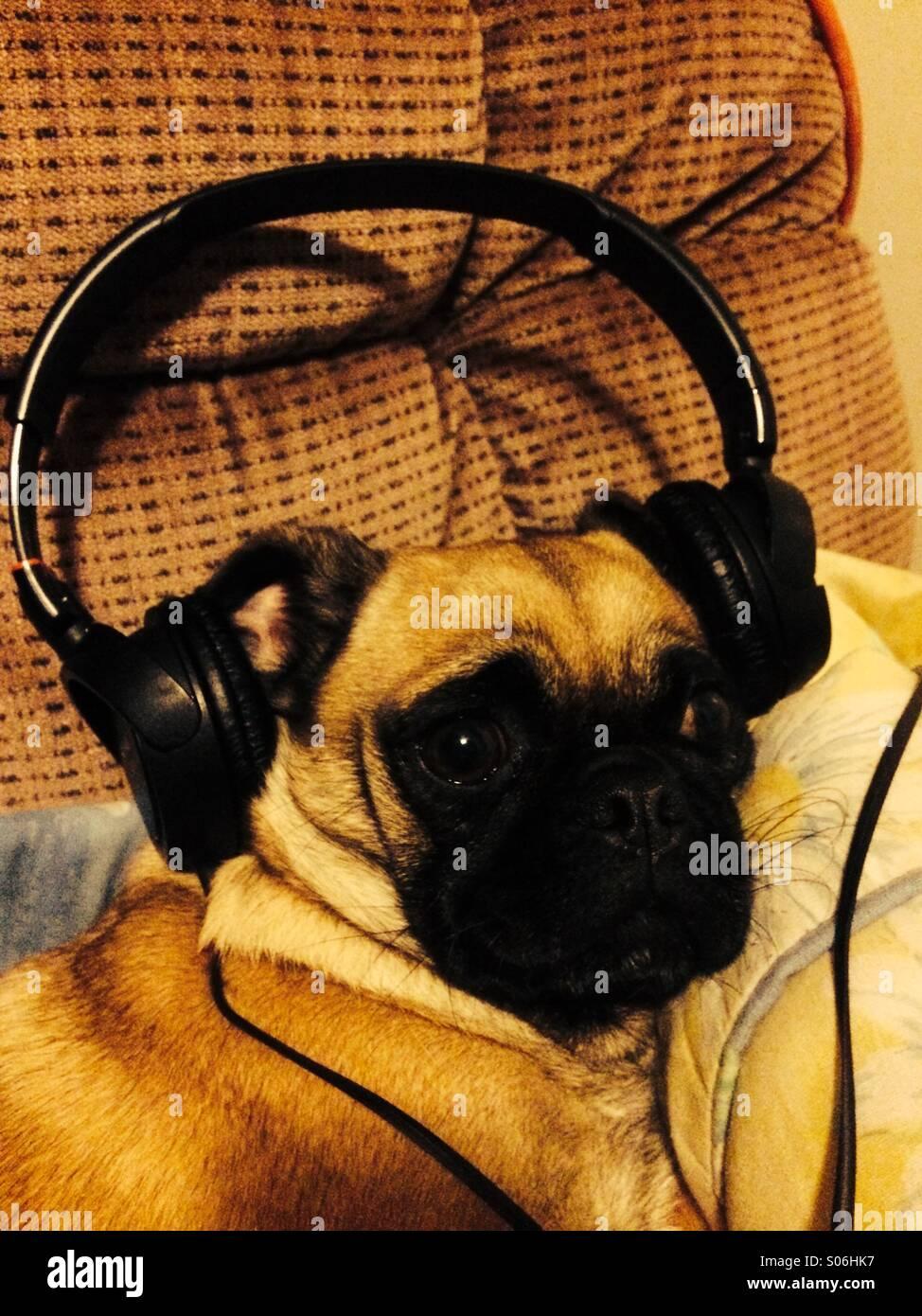 Headphone Pug - Stock Image