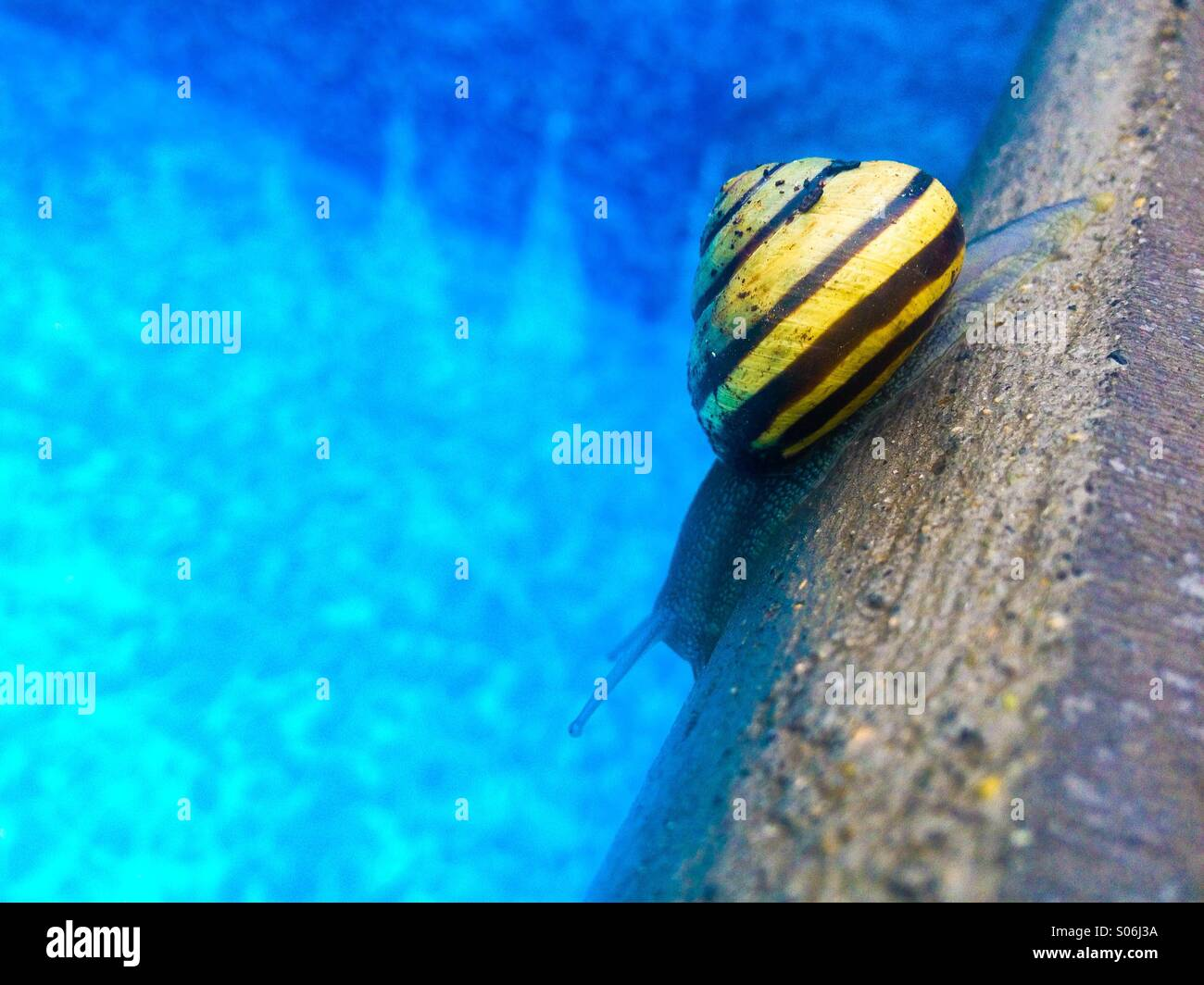 Yellow-striped snail inching its way alongside swimming pool's edge on a rainy day. - Stock Image