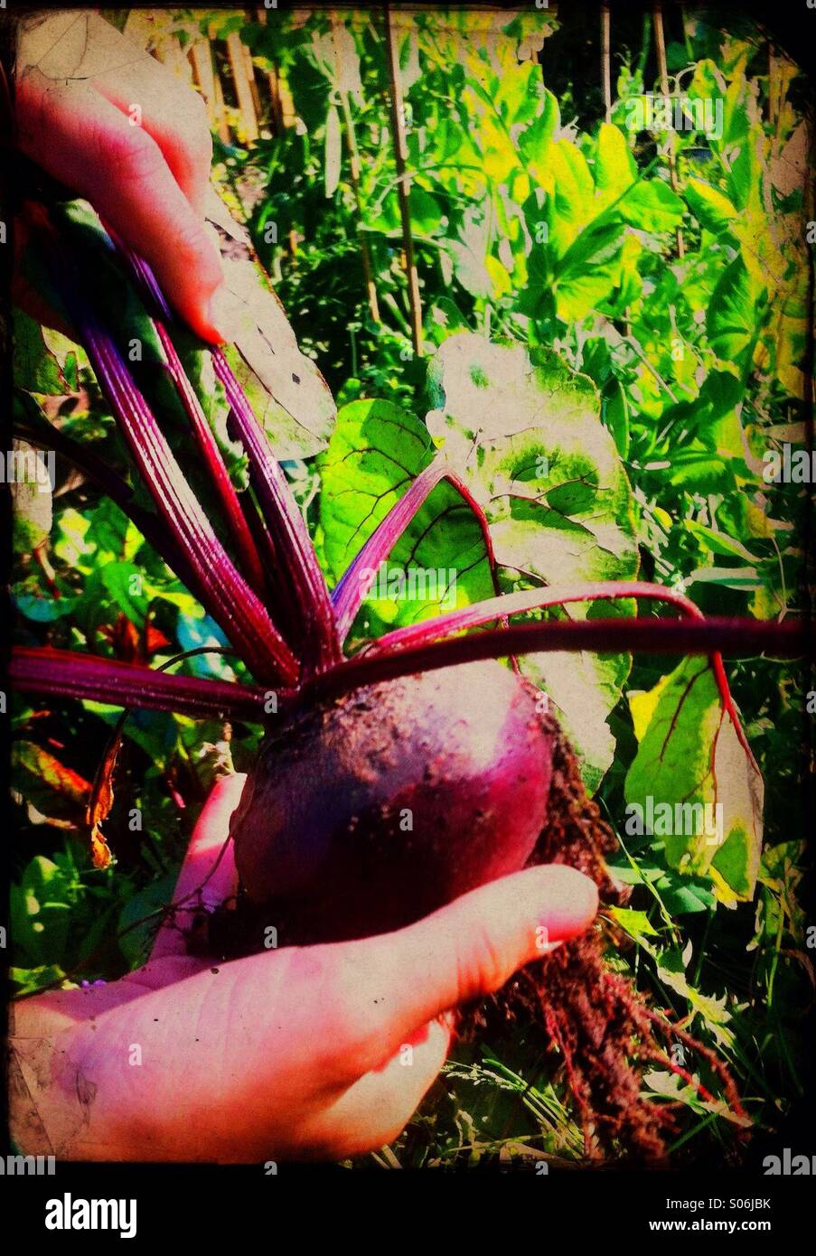 A home-grown beetroot Stock Photo